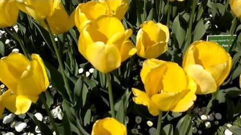 """Darwin-Hybrid-Tulpen """"Golden Parade"""" (Tulipa) im Botanischen Garten Augsburg - 24. Aprl 2014"""