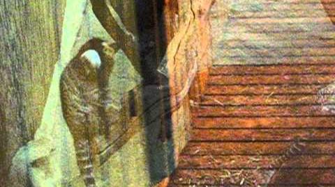 Weißbüschelaffe (Callithrix jacchus) 22. Januar 2012 - liegen träge auf Ast