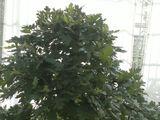 Eingriffelige Weißdorn (Crataegus monogyna) Bonsai – im Botanischen Garten Augsburg – 22. Juni 2013
