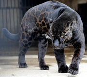 Black-panther 1576289i
