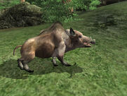 Young Boar01