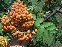 240px-Sorbus americana