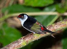 Pin-tailed manakin (Ilicura militaris)