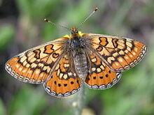 240px-Euphydryas aurinia female