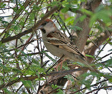 240px-Sind Sparrow (Passer pyrrhonotus)- Male at Sultanpur I Picture 178