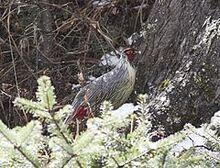 240px-Blood Pheasant