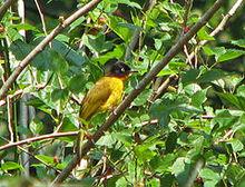 240px-Pycnonotus gularis (Karnataka)
