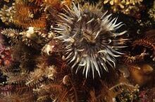 240px-Striped anemone (Anthothoe chilensis)
