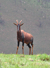 177px-Topi Rwanda3
