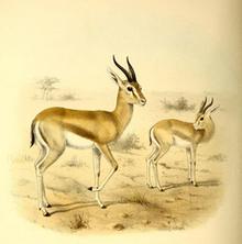 The book of antelopes (1894) Gazella pelzelni