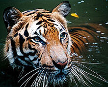 240px-Tiger in the water