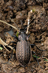 159px-Carabus.granulatus