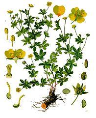 Potentilla erecta - Köhler–s Medizinal-Pflanzen-248