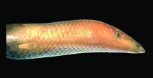 Sirenoscincus mobydick 2