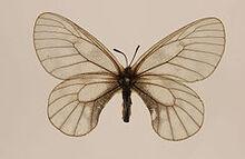 240px-Parnassius stubbendorfi ulster
