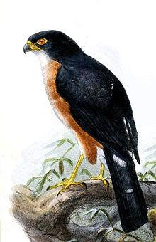 Accipiter erythropus erythropus Keulemans