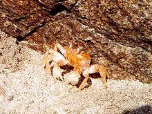 240px-Ocypode stimpsoni