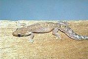 Lepidodactylus lugubris (1)