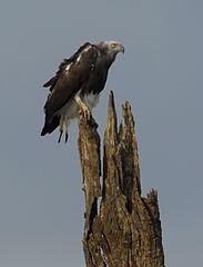 183px-Grey-headed-fish-eagle