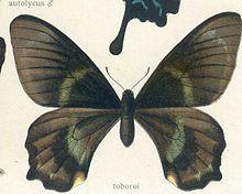 Papilio toboroi Ribbe, 1907