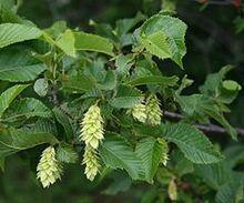 240px-Ostrya carpinifolia 2