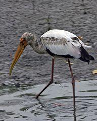 192px-Milky Stork (Mycteria cinerea) - young adult - Flickr - Lip Kee