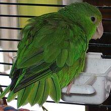 Green-rumped Parrotlet (Forpus passerinus)