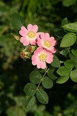 160px-Rosa eglanteria img 3218