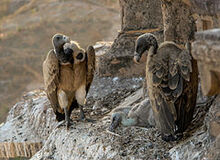 Vultures in the nest, Orchha, MP, India edit