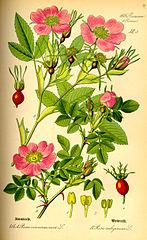 147px-Illustration Rosa majalis0