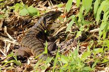 Tiger lizard (Gold tegu) (Tupinambis teguixin)