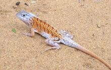 Madagascar-collard-iguana-chalarodon-madagascariensis-three-eyed-iguana-7