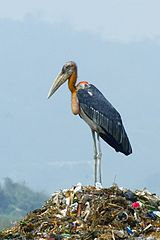 160px-Greater adjutant