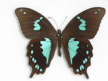 240px-Papilio epiphorbas Boisduval, 1833 Male