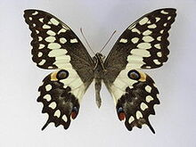 240px-Papiliomorondavana