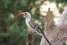 Tockus erythrorhynchus Samburu National Reserve
