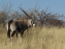 240px-Oryx gazella (Okevi)