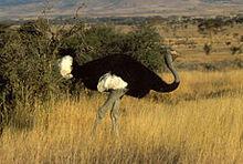 240px-Somali ostrich