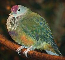 240px-Mariana Fruit Dove 058