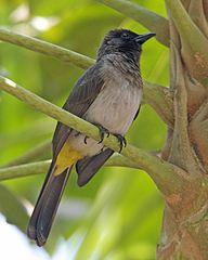 Pycnonotus tricolor Kigali, Rwanda