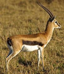 206px-Thomsons-gazelle