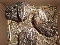 240px-3 Japanese quails less than 1 year old