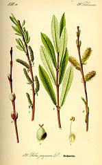 149px-Illustration Salix purpurea0