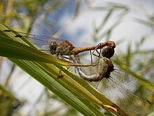 240px-Sympetrum meridionale couple