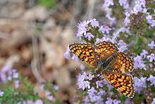 240px-Melitaea phoebe