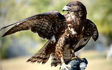 Male - black phase - short tail hawk