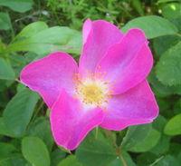 200px-Wild Rosa gallica Romania