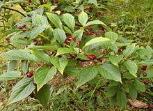 240px-Cotoneaster foveolatus