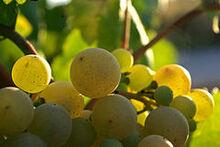 240px-Xarel lo Cava grapes