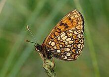 240px-Melitaea britomartis podgorje01